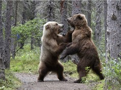 Gấu nâu hoang dã ra đòn hiểm với đồng loại