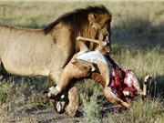 """Clip: Sư tử hạ linh dương trong """"một nốt nhạc"""""""