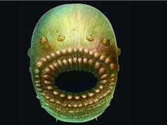 Phát hiện tổ tiên loài người trong lớp đá 540 triệu năm