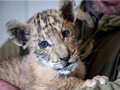 Hổ lai sư tử cực hiếm tại Nga