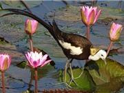 Giống gà biết bơi có nguồn gốc ở châu Á