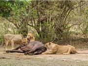 Trâu mẹ mang bầu chết thảm dưới nanh vuốt của đàn sư tử
