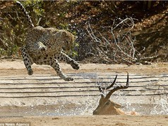 Báo đốm phi thân tóm gọn linh dương Impala