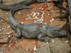 """Cá sấu bị du khách tấn công bằng """"cơn mưa"""" tiền xu"""