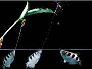 """Clip: Loài cá có khả năng dùng miệng làm """"súng"""" săn mồi"""
