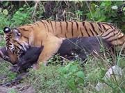 Clip: Heo rừng kịch chiến giành sự sống trước hổ dữ
