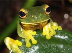 Nghiên cứu tạo chất keo mới từ nước bọt loài ếch
