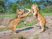 Màn tập dượt phân chia địa bàn của anh em sư tử