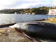 Cá voi chết thảm vì ăn quá nhiều... túi nylon
