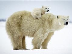 Top 10 loài gấu khổng lồ nhất thế giới
