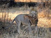 Nai nhỏ lạc mẹ chết thảm dưới nanh vuốt sư tử
