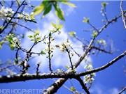 Say đắm mùa hoa mận trắng ở Mộc Châu