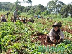 Nông dân Đắk Nông thu lãi vài trăm triệu từ khoai lang Nhật nuôi cấy mô