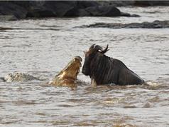 Linh dương đầu bò bỏ mạng vì cả gan qua mặt cá sấu