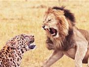 Clip: Sư tử săn giết báo ge-pa