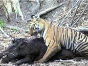 Clip: Màn vật lộn giữa hổ và heo rừng