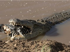 """""""Rợn người"""" với cảnh cá sấu nuốt chửng đầu ngựa vằn"""