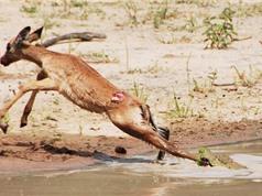 Clip: Linh dương con nỗ lực giành sự sống trước miệng cá sấu