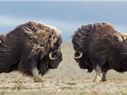 Clip: Đại chiến giành quyền giao phối của những con bò 400kg
