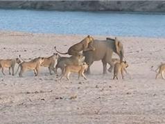 Clip: Bầy sư tử truy sát voi và cái kết bất ngờ
