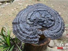 Nấm linh chi khổng lồ ở Trung Quốc