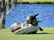 Clip: Cá sấu quyết chiến giành bạn tình trên sân golf