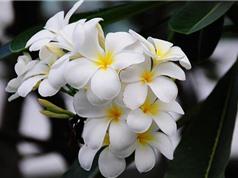 Những khám phá gây sửng sốt về cây hoa sứ
