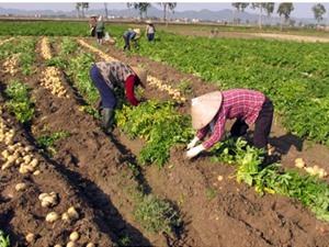 Dân Quế Võ trồng khoai tây thu lãi vài trăm triệu