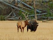 Clip: Bò rừng bison nặng 1 tấn đại chiến với nai sừng tấm 400kg