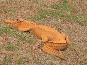 Cá sấu màu cam gây chú ý ở Mỹ