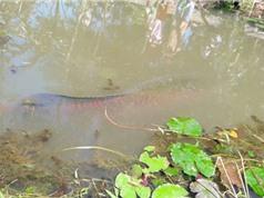 Cá hải tượng gần 2m nổi dưới kênh ở Tiền Giang