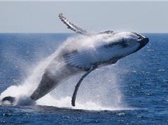 Kiểm tra số lượng cá voi bằng ảnh vệ tinh
