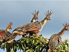 Chiêm ngưỡng bộ lông kỳ dị của gà móng hoang dã