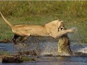 Clip: Cá sấu truy sát sư tử dưới nước