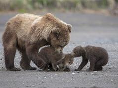 """""""Tan chảy"""" trước khoảnh khắc tình cảm của mẹ con gấu nấu"""