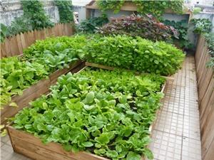 Kỹ thuật trồng rau sạch tại nhà
