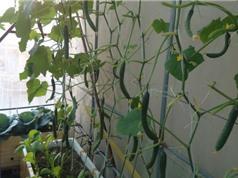 Kỹ thuật trồng dưa leo trong thùng xốp tại nhà