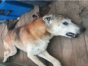 Tiêu diệt chó hoang từng sát hại 500 con cừu