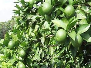 Kỹ thuật trồng chanh tứ quý cho thu nhập cả tỷ đồng/năm