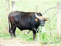 Triển vọng nâng cao chất lượng đàn bò với bò tót lai tại Khánh Hòa, Ninh Thuận và Lâm Đồng