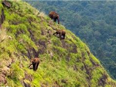 Bầy voi khổng lồ gặm cỏ trên vách núi cheo leo