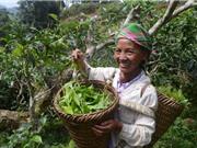 Yên Bái: Quản lý nhãn hiệu, khai thác hiệu quả chè Shan Suối Giàng