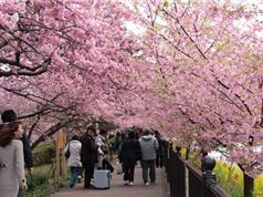 Ấn tượng với chùm ảnh hoa anh đào phủ kín thành phố Kawazu