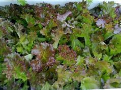 Hướng dẫn trồng rau xà lách trong thùng xốp