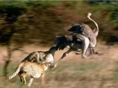 Clip: 3 con báo hợp sức săn đà điểu