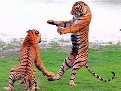 Clip: Hổ dữ tử chiến giành lãnh thổ