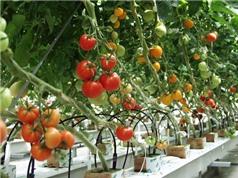 Kỹ thuật trồng cà chua sai quả trong thùng xốp