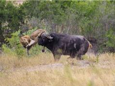 Clip: Dính đòn đau của trâu rừng, sư tử vội vàng bỏ chạy