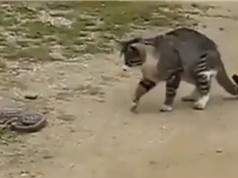 Clip: Mèo trổ tài bắt rắn trong chớp mắt