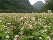 Cận cảnh vườn hoa tam giác mạch đầu tiên ở Ninh Bình